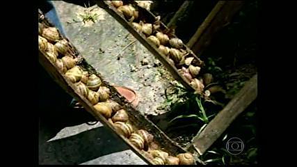 G1 - No RJ, produtor investe na criação de escargots - notícias em Agronegócios